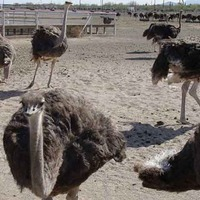 Rooster Cogburn's Ostrich Ranch
