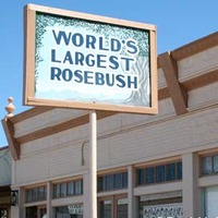World's Largest Rose Bush