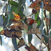 Once-a-Year Monarch Butterfly Grove