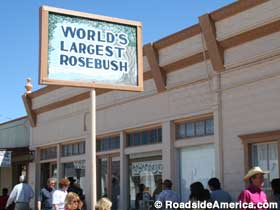 World's largest Rosebush.
