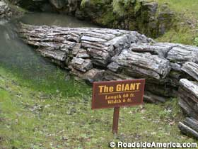 The Giant - Petrified Forest.