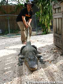 Jimmy Riffle drags a reluctant gator to a wrestling match at Native Village.