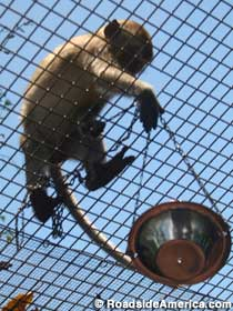 Monkey hauling up a bowl of food.