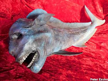 A swimmers' nightmare: the toothy Manfish.