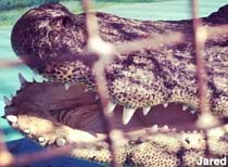 Ole Hardhide: Town Gator in a Cage