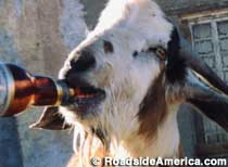 Clay Henry - Famous Beer-Drinking Dead Goat